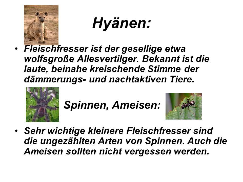 Hyänen: Fleischfresser ist der gesellige etwa wolfsgroße Allesvertilger. Bekannt ist die laute, beinahe kreischende Stimme der dämmerungs- und nachtak