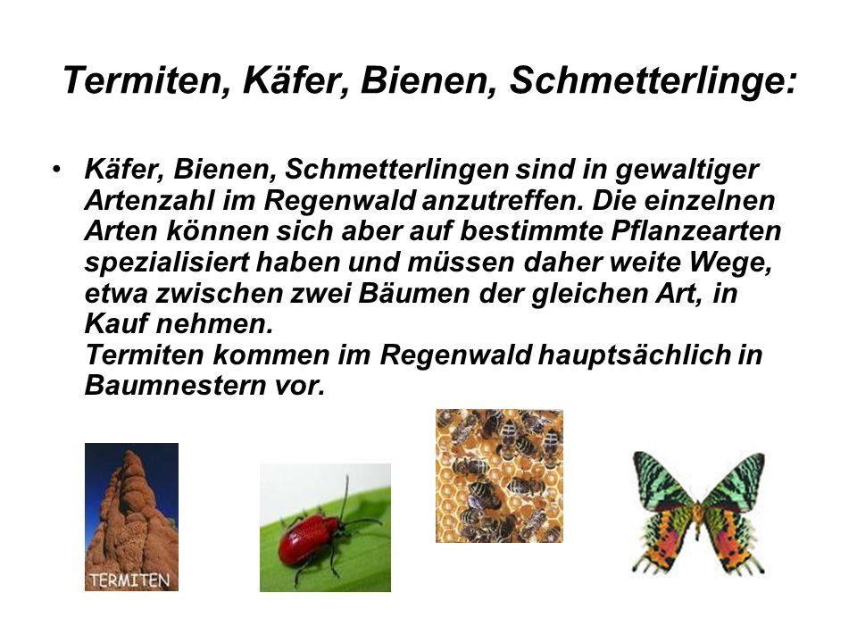 Termiten, Käfer, Bienen, Schmetterlinge: Käfer, Bienen, Schmetterlingen sind in gewaltiger Artenzahl im Regenwald anzutreffen. Die einzelnen Arten kön