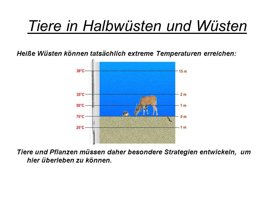 Tiere in Halbwüsten und Wüsten Heiße Wüsten können tatsächlich extreme Temperaturen erreichen: Tiere und Pflanzen müssen daher besondere Strategien en
