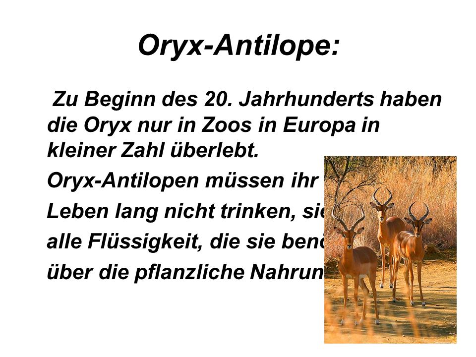 Zu Beginn des 20. Jahrhunderts haben die Oryx nur in Zoos in Europa in kleiner Zahl überlebt. Oryx-Antilopen müssen ihr ganzes Leben lang nicht trinke