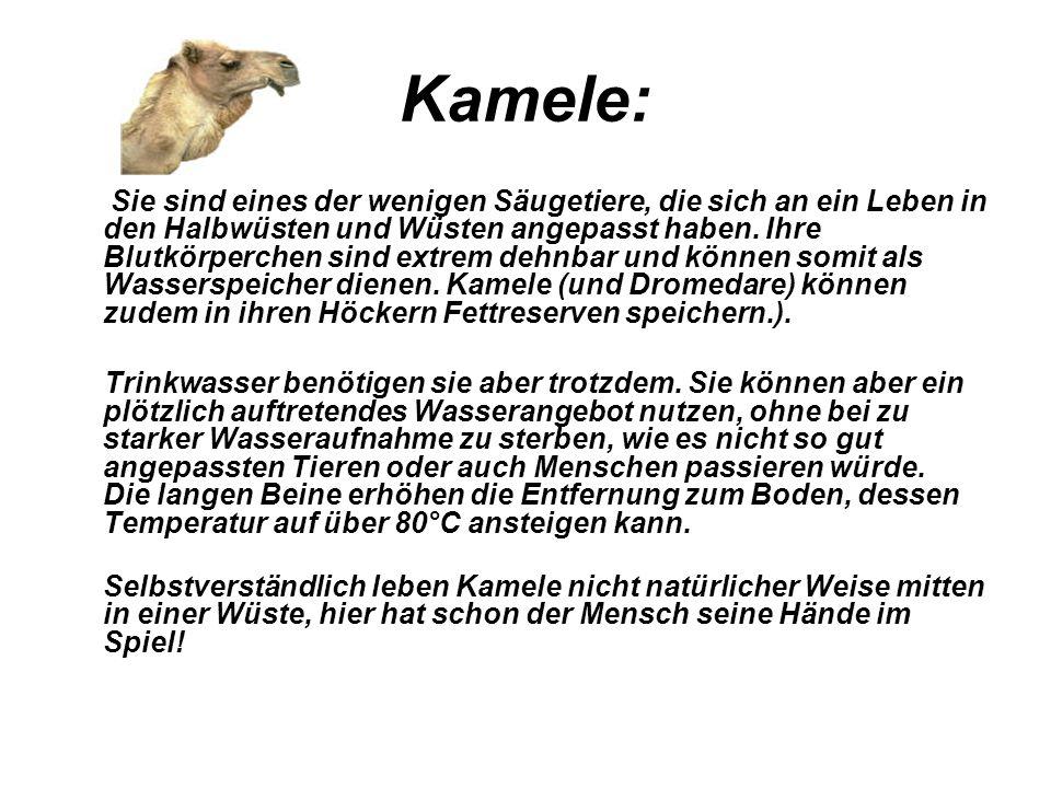 Kamele: Sie sind eines der wenigen Säugetiere, die sich an ein Leben in den Halbwüsten und Wüsten angepasst haben. Ihre Blutkörperchen sind extrem deh