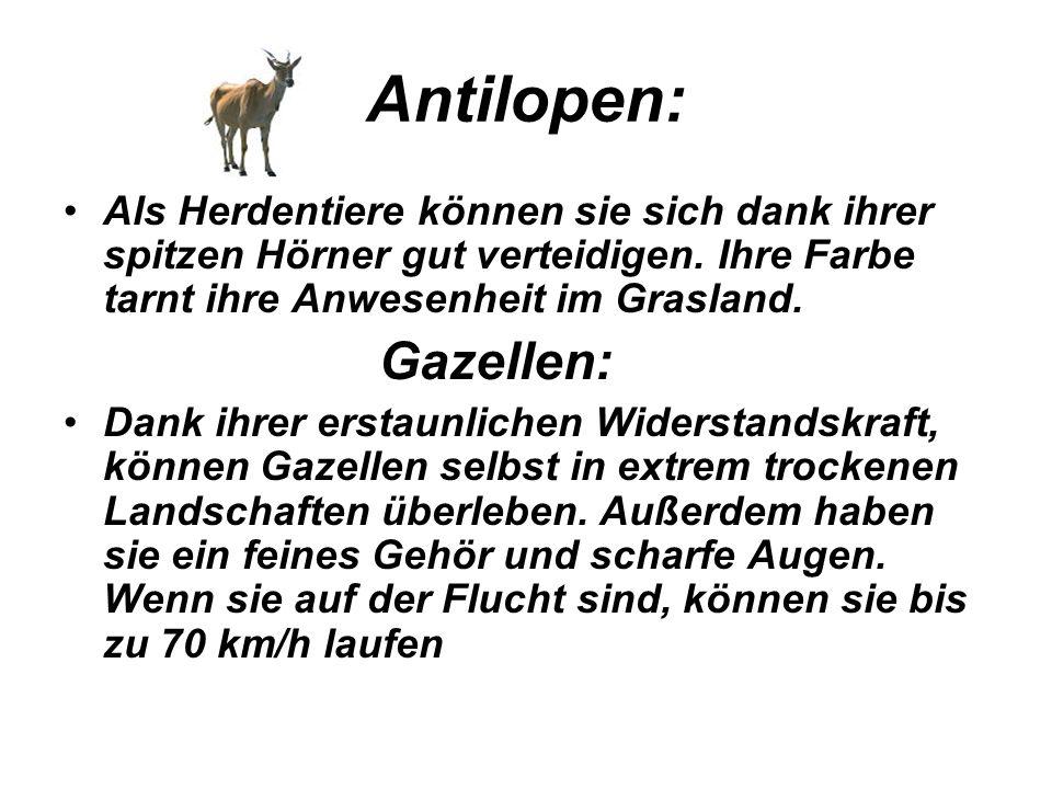 Antilopen: Als Herdentiere können sie sich dank ihrer spitzen Hörner gut verteidigen. Ihre Farbe tarnt ihre Anwesenheit im Grasland. Gazellen: Dank ih