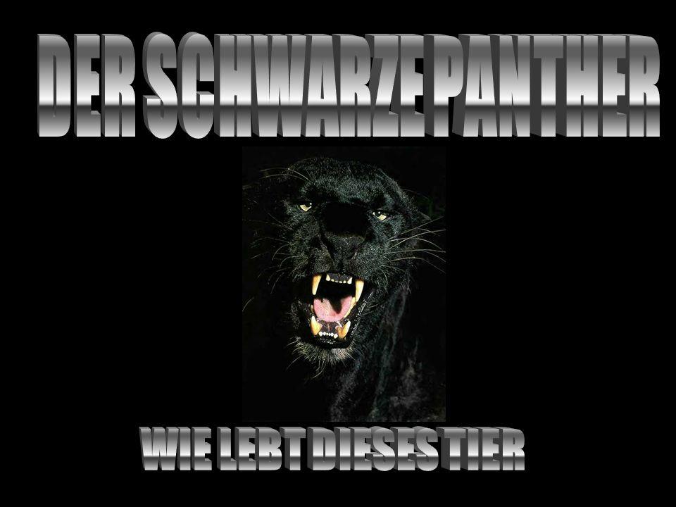 Die deutsche Bezeichnung ist Panther oder Indischer Löwe.