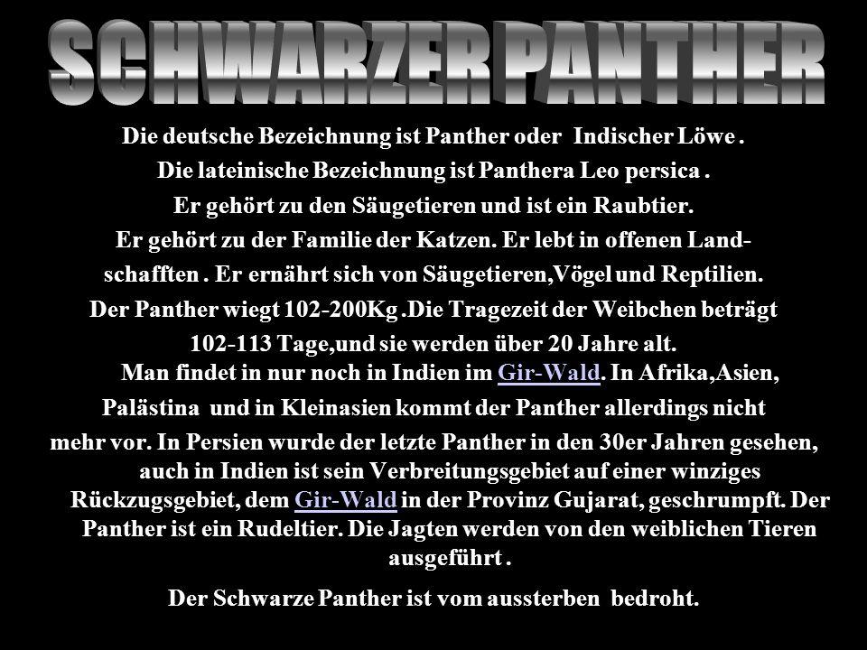 Die deutsche Bezeichnung ist Panther oder Indischer Löwe. Die lateinische Bezeichnung ist Panthera Leo persica. Er gehört zu den Säugetieren und ist e