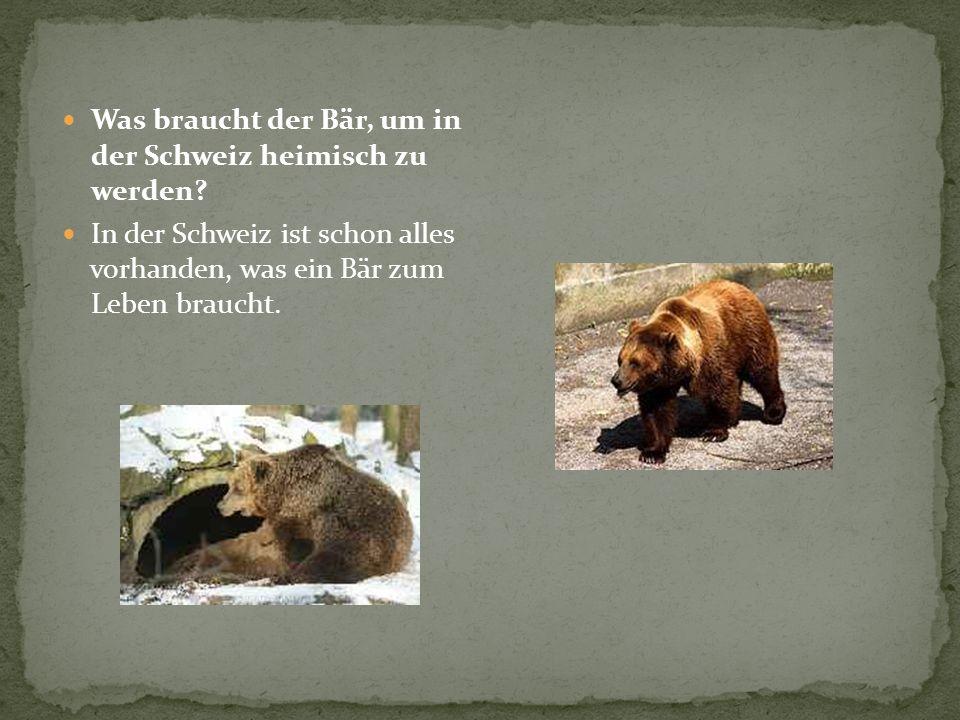 Was braucht der Bär, um in der Schweiz heimisch zu werden? In der Schweiz ist schon alles vorhanden, was ein Bär zum Leben braucht.