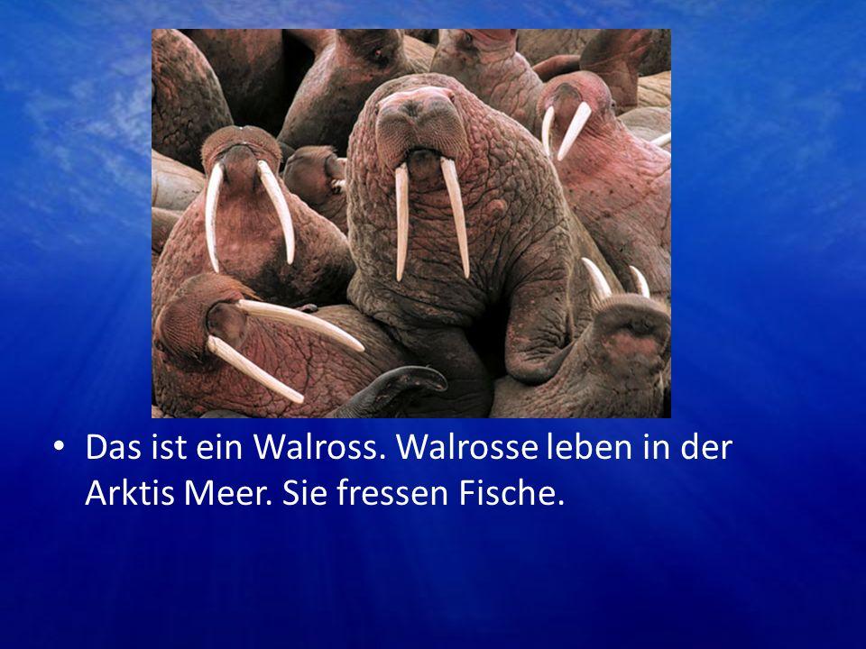 Das ist ein Walross. Walrosse leben in der Arktis Meer. Sie fressen Fische.