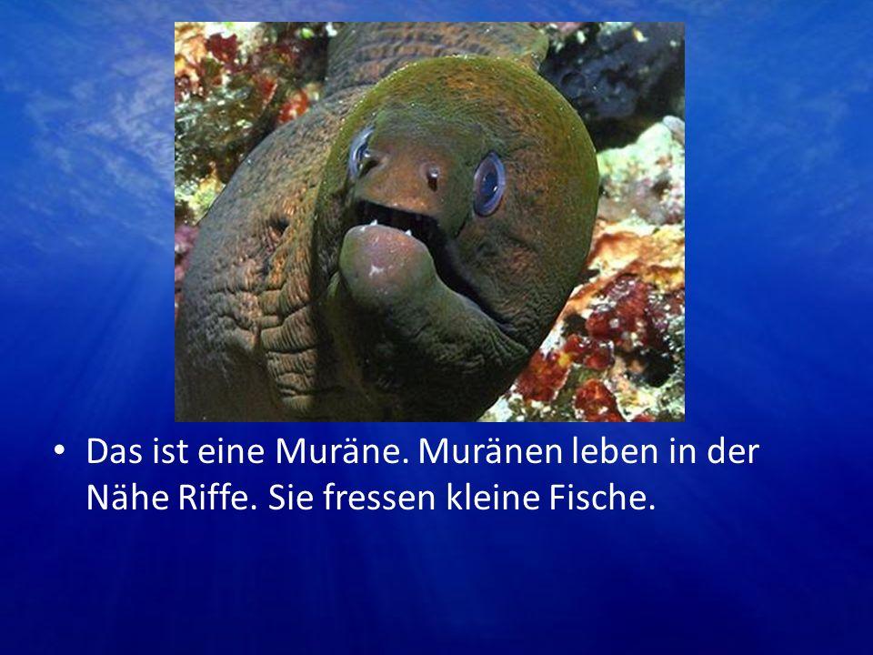 Das ist eine Muräne. Muränen leben in der Nähe Riffe. Sie fressen kleine Fische.