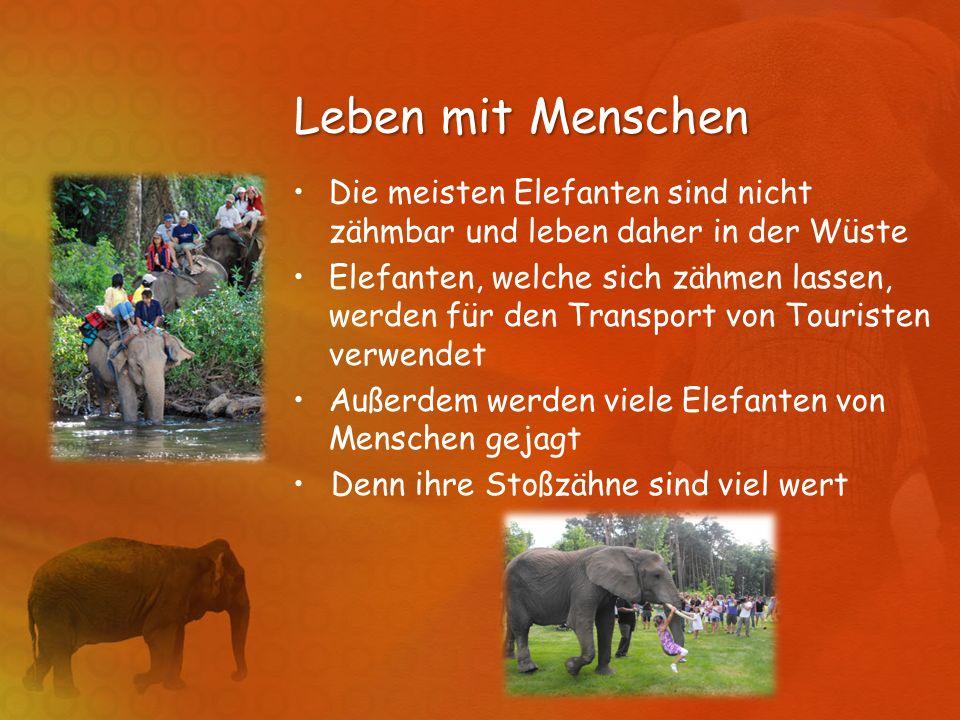 Leben mit Menschen Die meisten Elefanten sind nicht zähmbar und leben daher in der Wüste Elefanten, welche sich zähmen lassen, werden für den Transpor