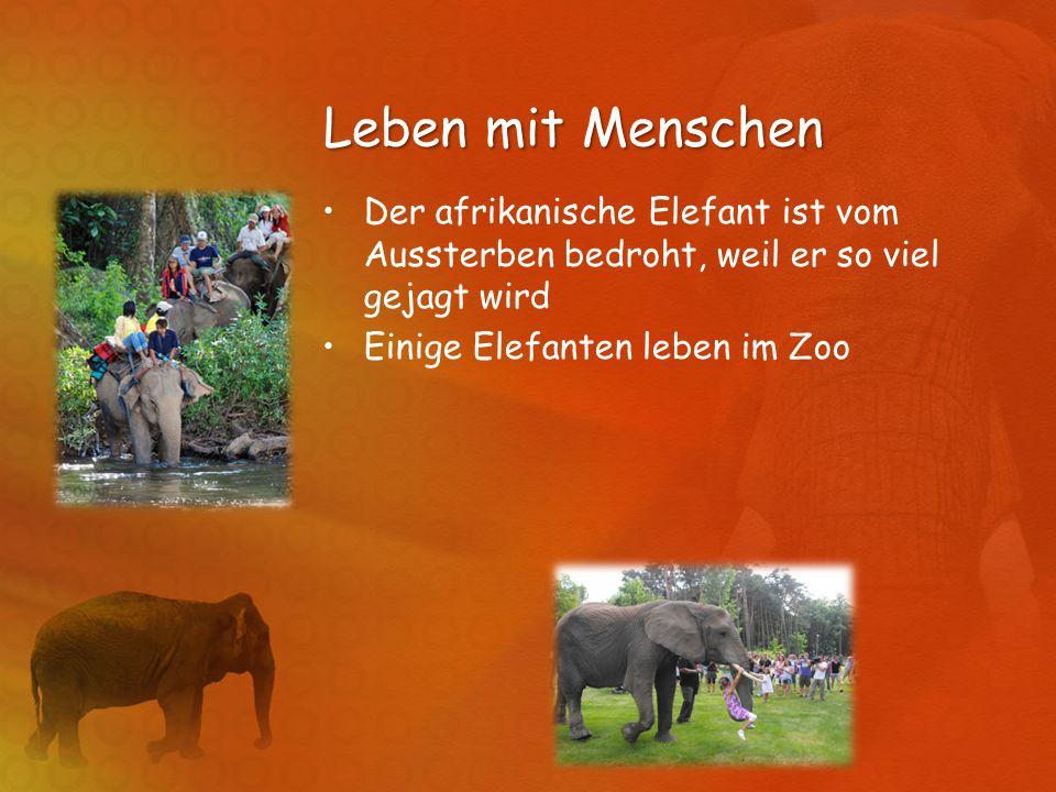 Leben mit Menschen Der afrikanische Elefant ist vom Aussterben bedroht, weil er so viel gejagt wird Einige Elefanten leben im Zoo