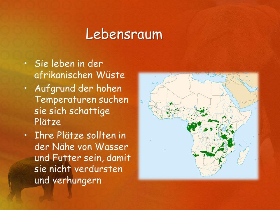Lebensraum Sie leben in der afrikanischen Wüste Aufgrund der hohen Temperaturen suchen sie sich schattige Plätze Ihre Plätze sollten in der Nähe von W