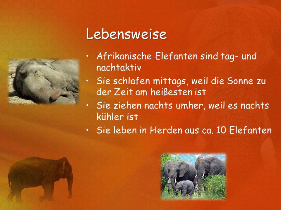 Lebensweise Afrikanische Elefanten sind tag- und nachtaktiv Sie schlafen mittags, weil die Sonne zu der Zeit am heißesten ist Sie ziehen nachts umher,