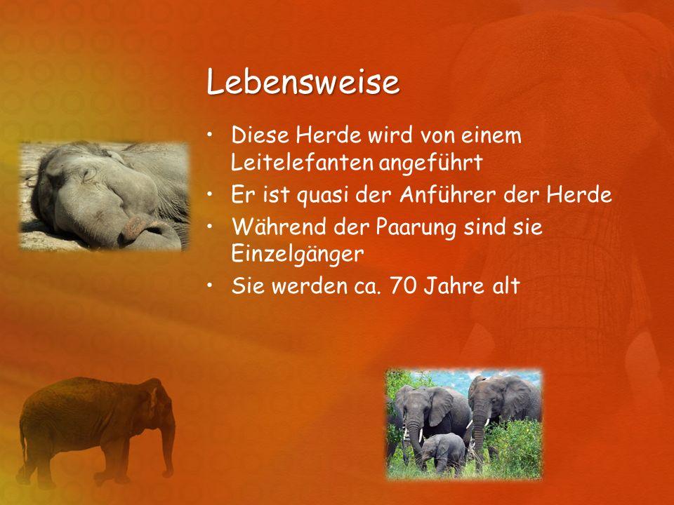 Lebensweise Diese Herde wird von einem Leitelefanten angeführt Er ist quasi der Anführer der Herde Während der Paarung sind sie Einzelgänger Sie werde