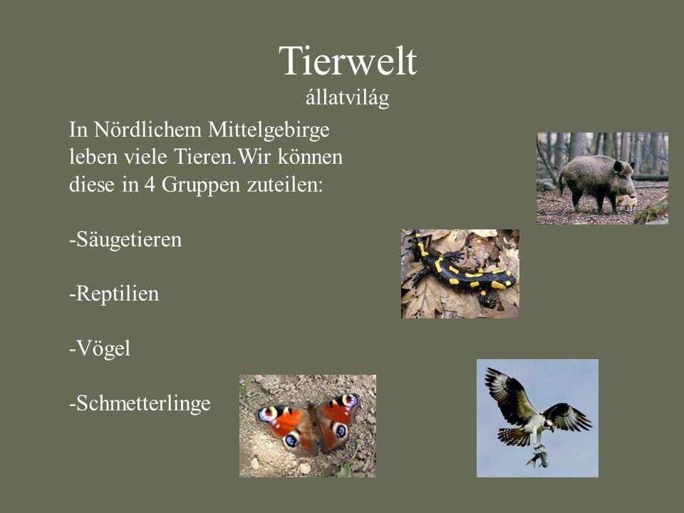 Tierwelt állatvilág In Nördlichem Mittelgebirge leben viele Tieren.Wir können diese in 4 Gruppen zuteilen: -Säugetieren -Reptilien -Vögel -Schmetterli