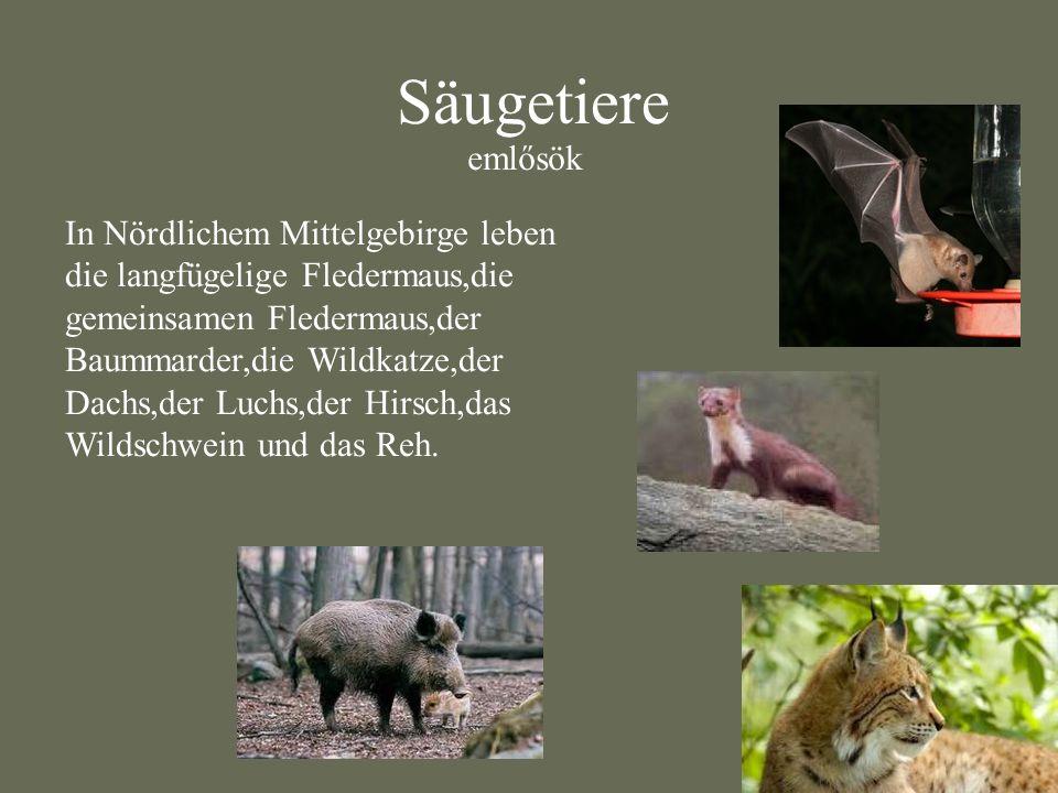 Säugetiere In Nördlichem Mittelgebirge leben die langfügelige Fledermaus,die gemeinsamen Fledermaus,der Baummarder,die Wildkatze,der Dachs,der Luchs,d
