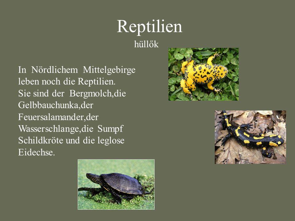 In Nördlichem Mittelgebirge leben noch die Reptilien. Sie sind der Bergmolch,die Gelbbauchunka,der Feuersalamander,der Wasserschlange,die Sumpf Schild