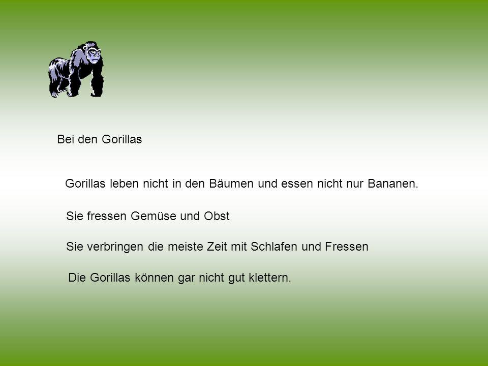 Bei den Gorillas Die Gorillas können gar nicht gut klettern. Sie fressen Gemüse und Obst Sie verbringen die meiste Zeit mit Schlafen und Fressen Goril
