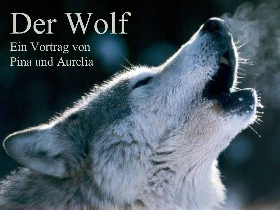 Der Wolf Ein Vortrag von Pina und Aurelia