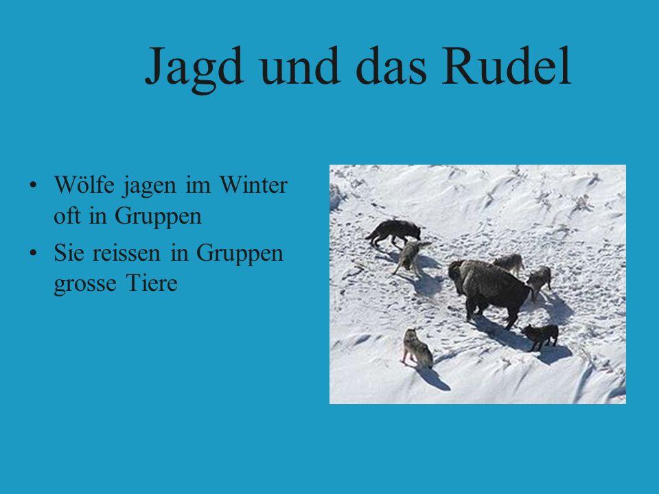 Wölfe jagen im Winter oft in Gruppen Sie reissen in Gruppen grosse Tiere Jagd und das Rudel