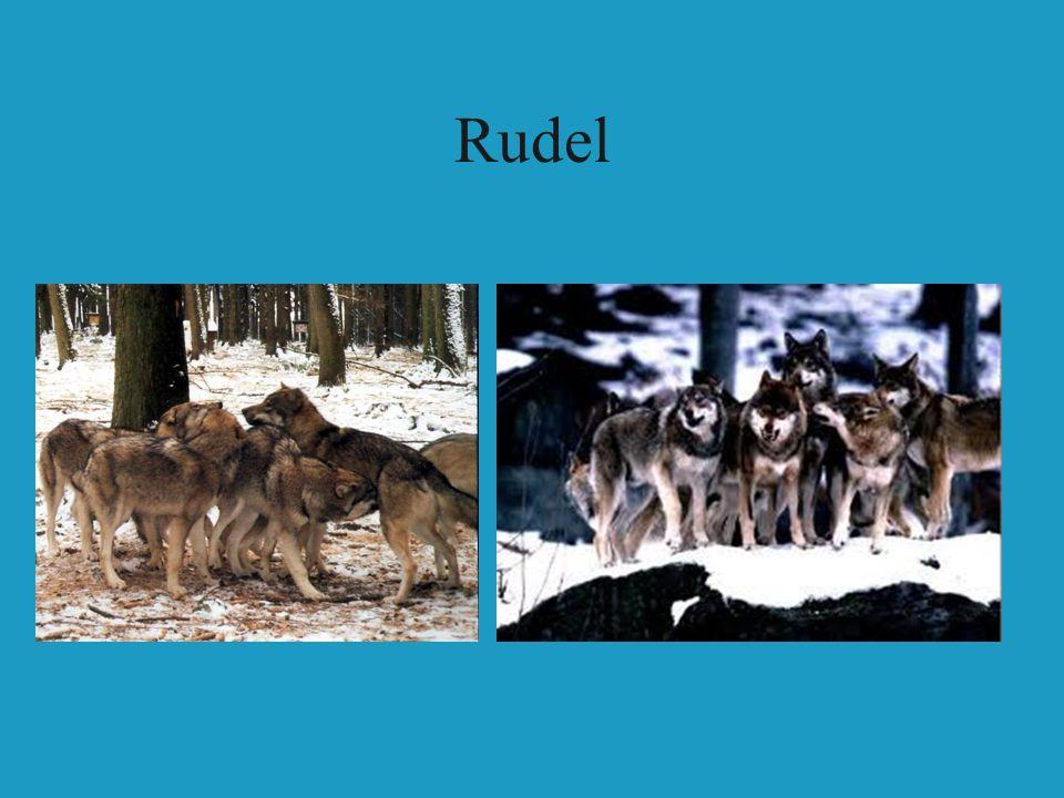 Rudel