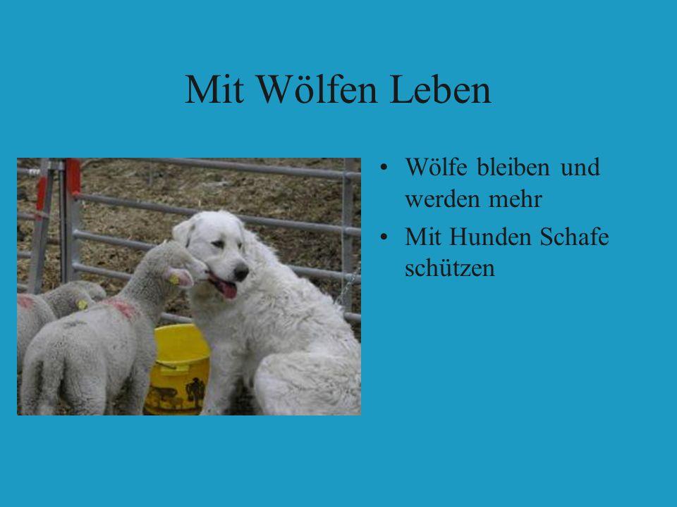 Mit Wölfen Leben Wölfe bleiben und werden mehr Mit Hunden Schafe schützen