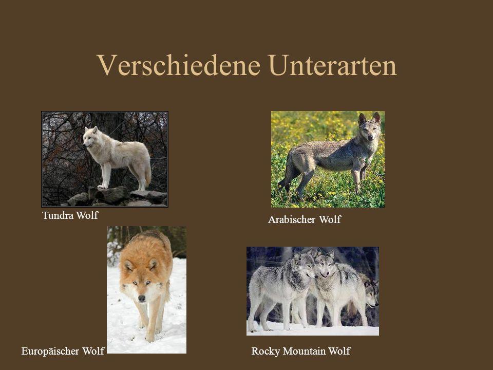 Verschiedene Unterarten Tundra Wolf Europäischer Wolf Arabischer Wolf Rocky Mountain Wolf