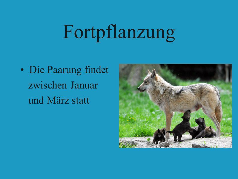 Fortpflanzung Die Paarung findet zwischen Januar und März statt