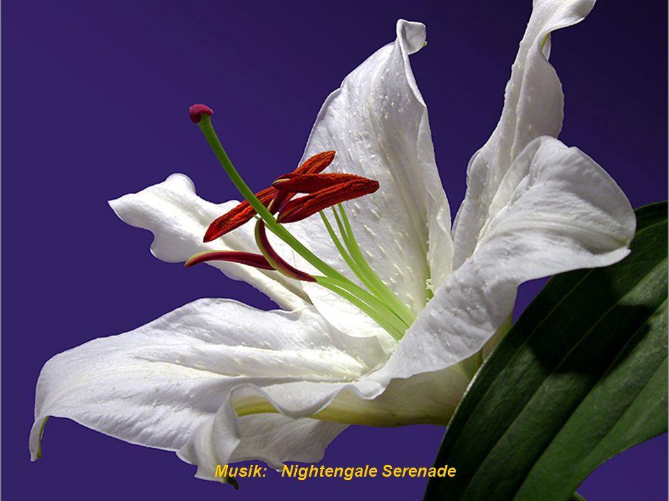 Musik: Nightengale Serenade Bouquet der Freundschaft