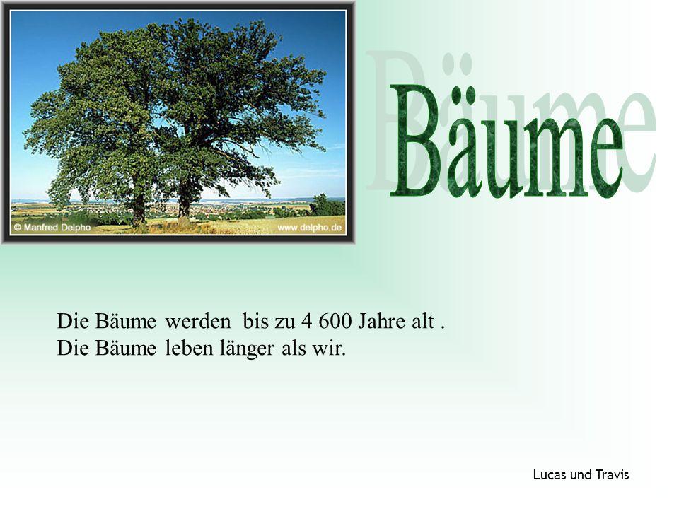 Die Bäume werden bis zu 4 600 Jahre alt. Die Bäume leben länger als wir. Lucas und Travis