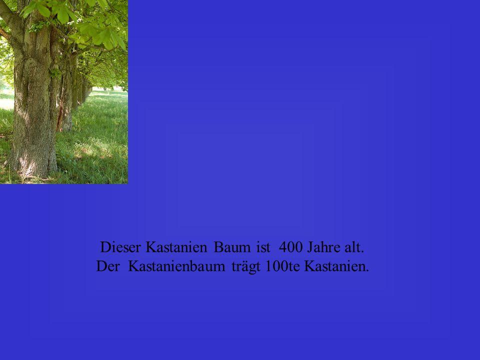 Dieser Kastanien Baum ist 400 Jahre alt. Der Kastanienbaum trägt 100te Kastanien.