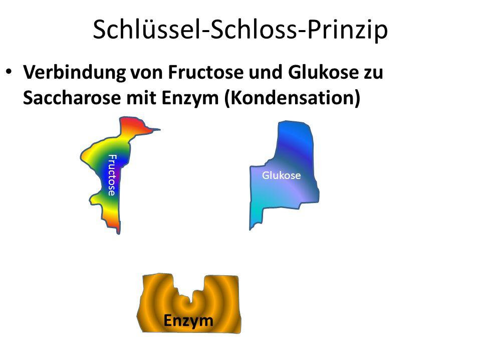 Schlüssel-Schloss-Prinzip Verbindung von Fructose und Glukose zu Saccharose mit Enzym (Kondensation) Enzym Fructose Glukose