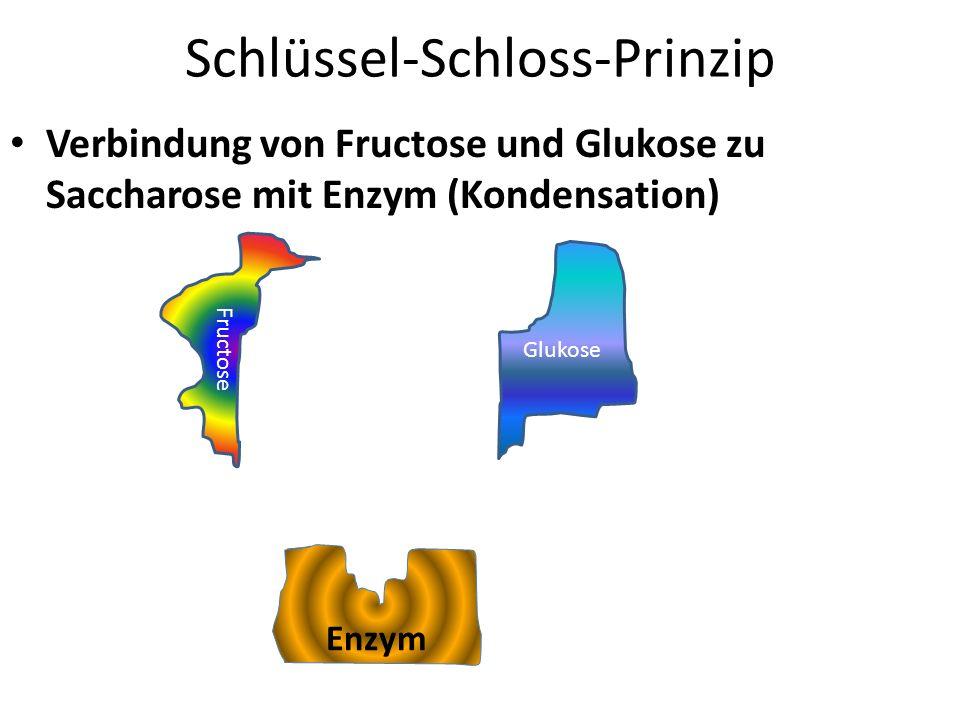 Schlüssel-Schloss-Prinzip Verbindung von Fructose und Glukose zu Saccharose mit Enzym (Kondensation) Fructose Glukose Enzym