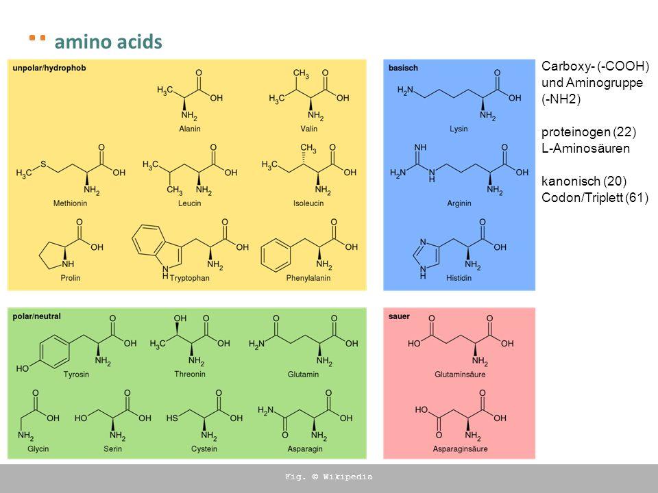 amino acids Carboxy- (-COOH) und Aminogruppe (-NH2) proteinogen (22) L-Aminosäuren kanonisch (20) Codon/Triplett (61) Fig. © Wikipedia