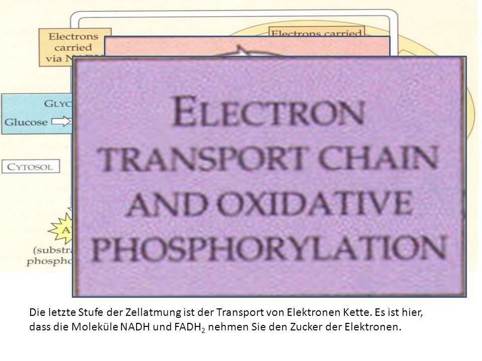 Die letzte Stufe der Zellatmung ist der Transport von Elektronen Kette. Es ist hier, dass die Moleküle NADH und FADH 2 nehmen Sie den Zucker der Elekt