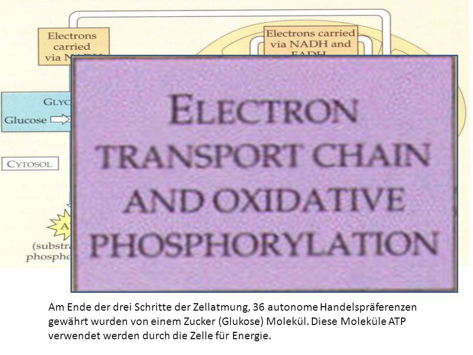 Am Ende der drei Schritte der Zellatmung, 36 autonome Handelspräferenzen gewährt wurden von einem Zucker (Glukose) Molekül. Diese Moleküle ATP verwend
