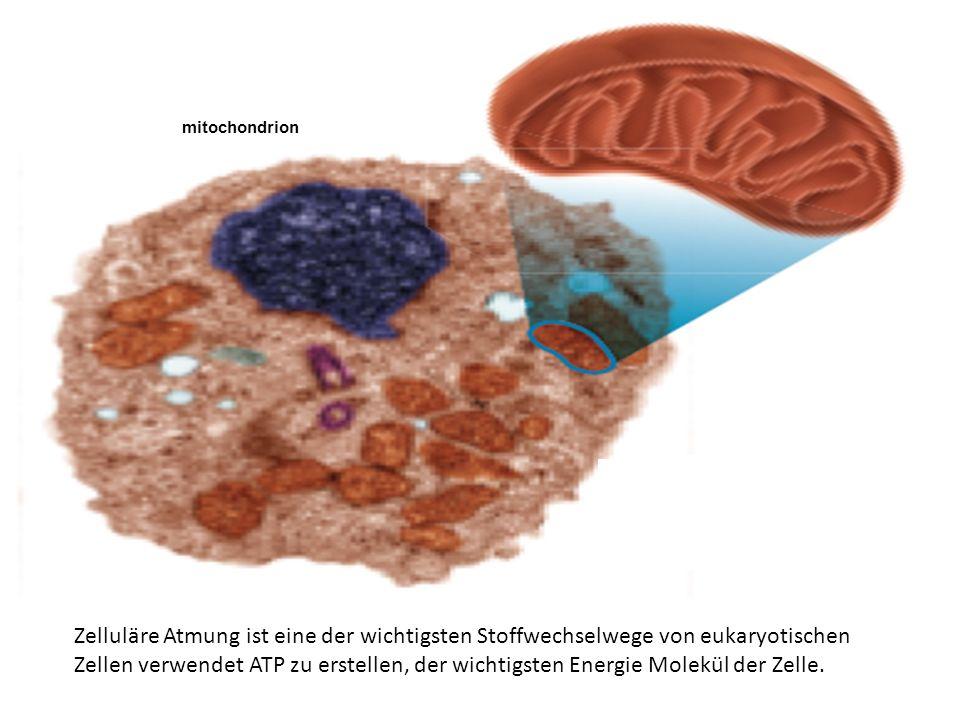 mitochondrion animal cell Zelluläre Atmung ist eine der wichtigsten Stoffwechselwege von eukaryotischen Zellen verwendet ATP zu erstellen, der wichtig
