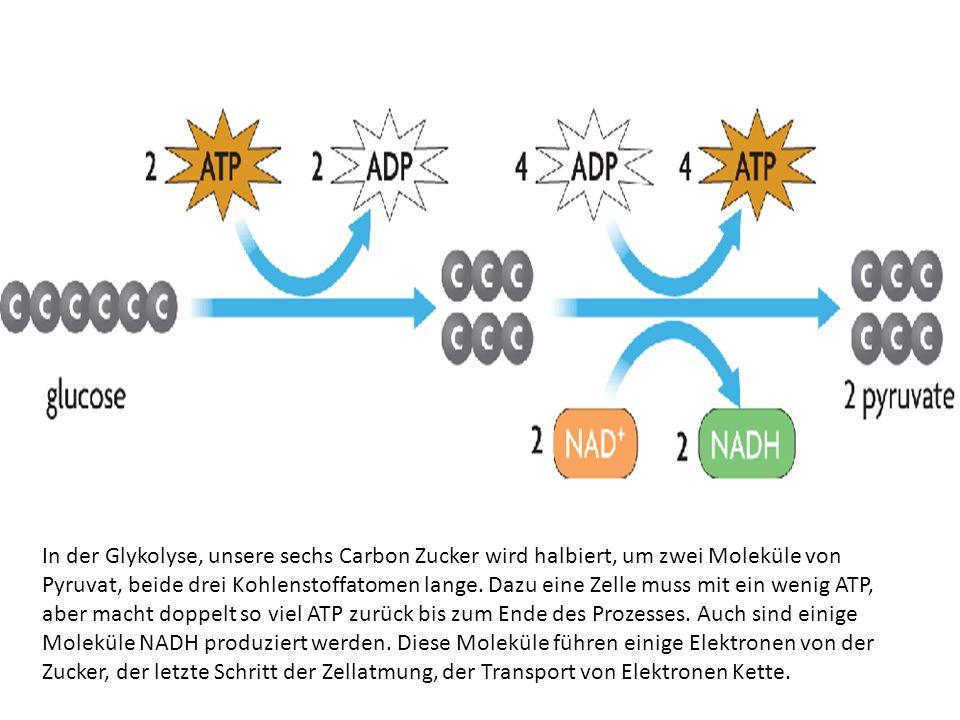 In der Glykolyse, unsere sechs Carbon Zucker wird halbiert, um zwei Moleküle von Pyruvat, beide drei Kohlenstoffatomen lange. Dazu eine Zelle muss mit