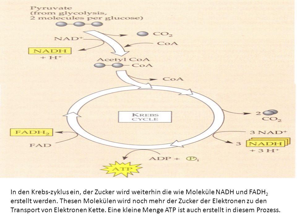 In den Krebs-zyklus ein, der Zucker wird weiterhin die wie Moleküle NADH und FADH 2 erstellt werden. Thesen Molekülen wird noch mehr der Zucker der El