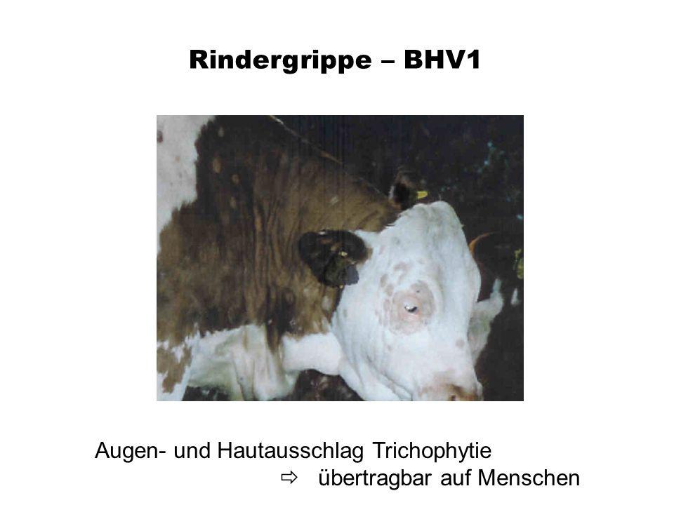 Rindergrippe – BHV1 Augen- und Hautausschlag Trichophytie übertragbar auf Menschen