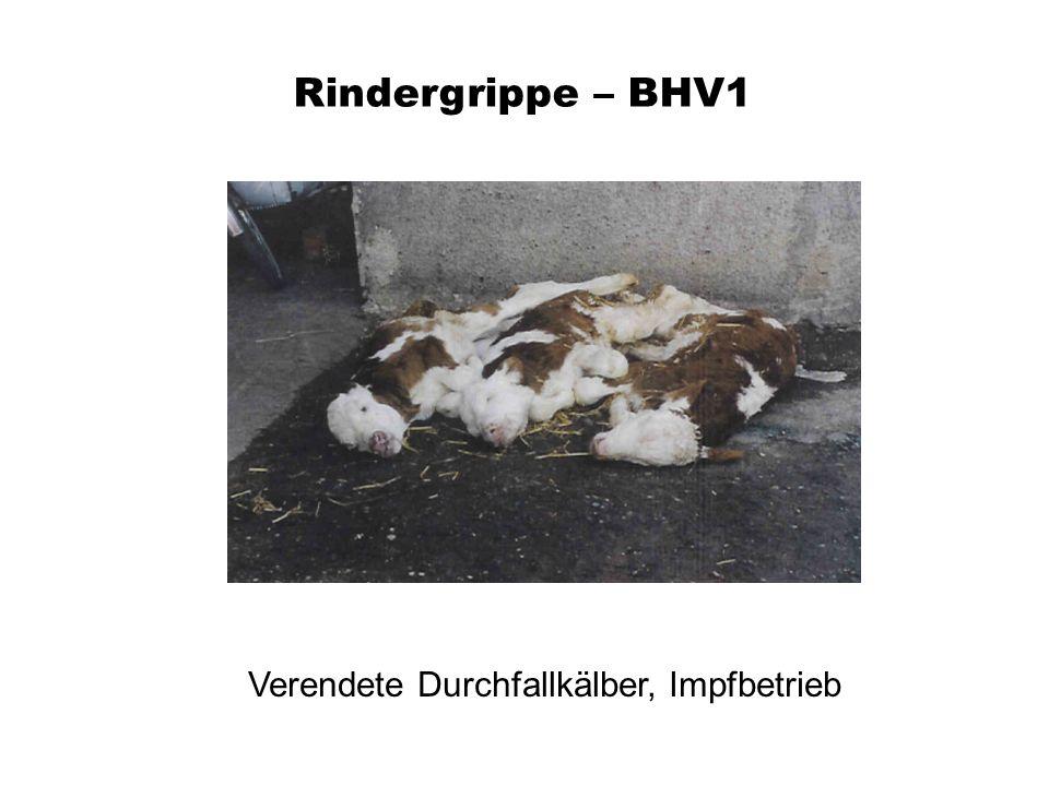 Rindergrippe – BHV1 Verendete Durchfallkälber, Impfbetrieb