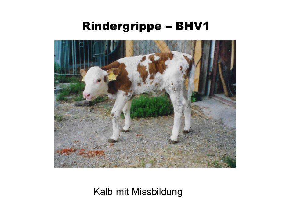 Rindergrippe – BHV1 Kalb mit Missbildung