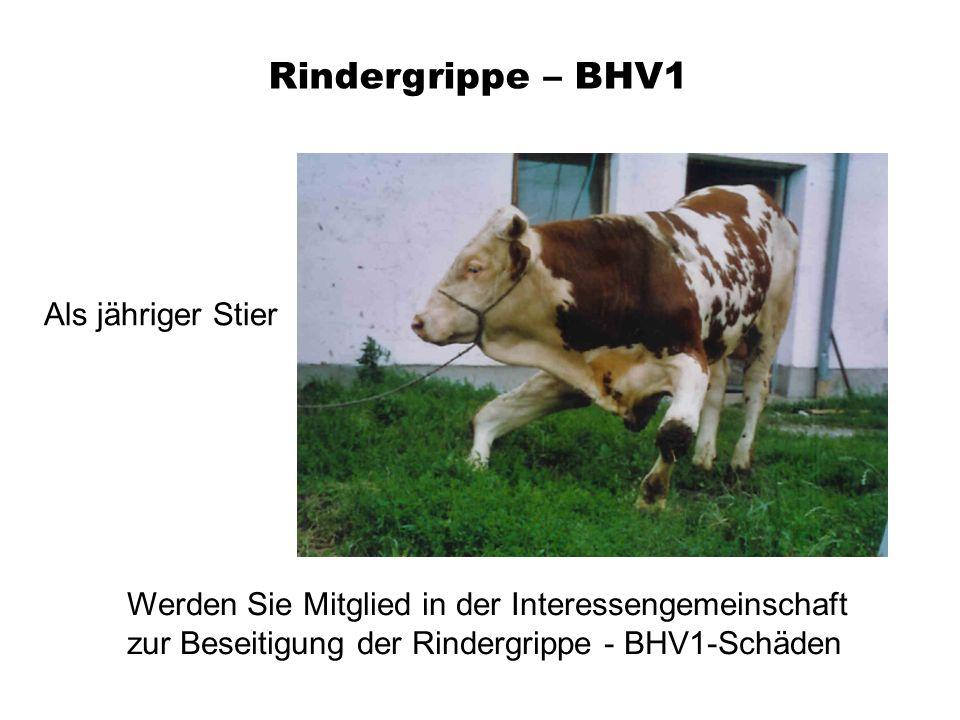 Rindergrippe – BHV1 Werden Sie Mitglied in der Interessengemeinschaft zur Beseitigung der Rindergrippe - BHV1-Schäden Als jähriger Stier