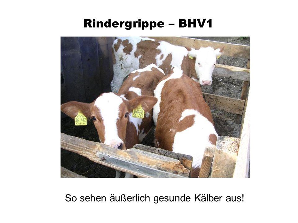 Rindergrippe – BHV1 So sehen äußerlich gesunde Kälber aus!