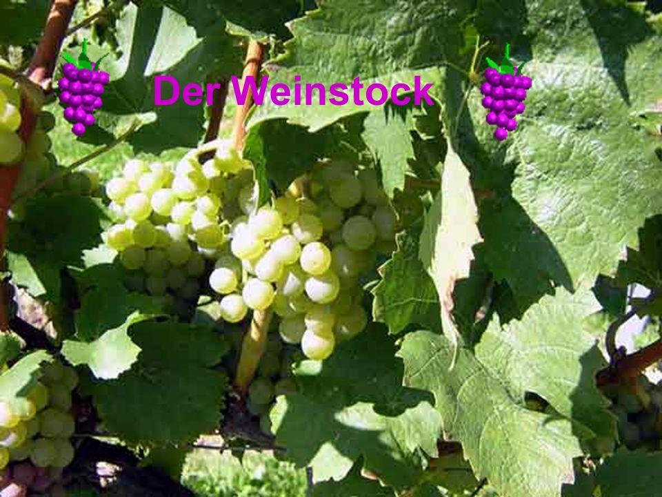 Weintrauben wachsen auf Weinstöcken Die süßen und saftigen Weintrauben wachsen auf Weinstöcken.