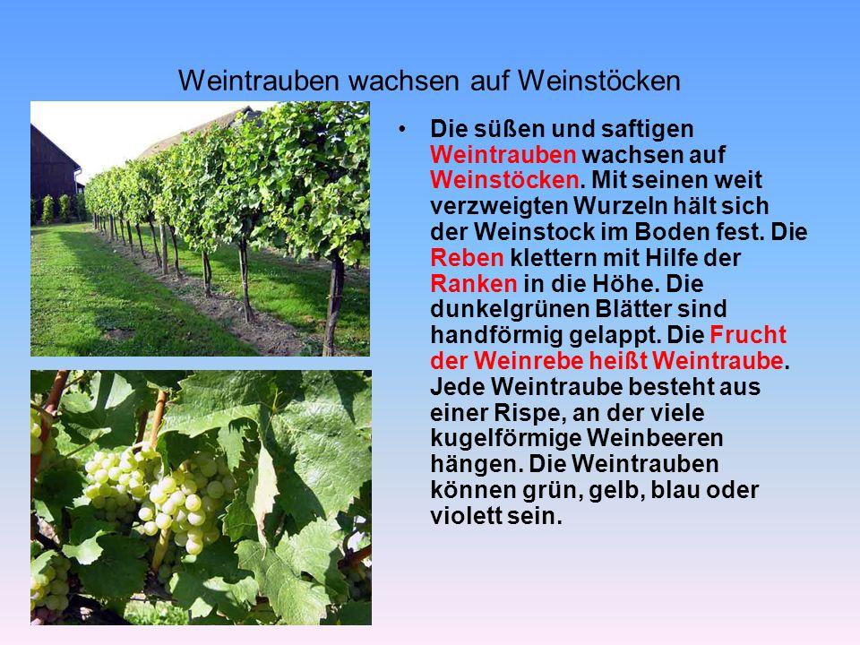 Weintrauben wachsen auf Weinstöcken Die süßen und saftigen Weintrauben wachsen auf Weinstöcken. Mit seinen weit verzweigten Wurzeln hält sich der Wein
