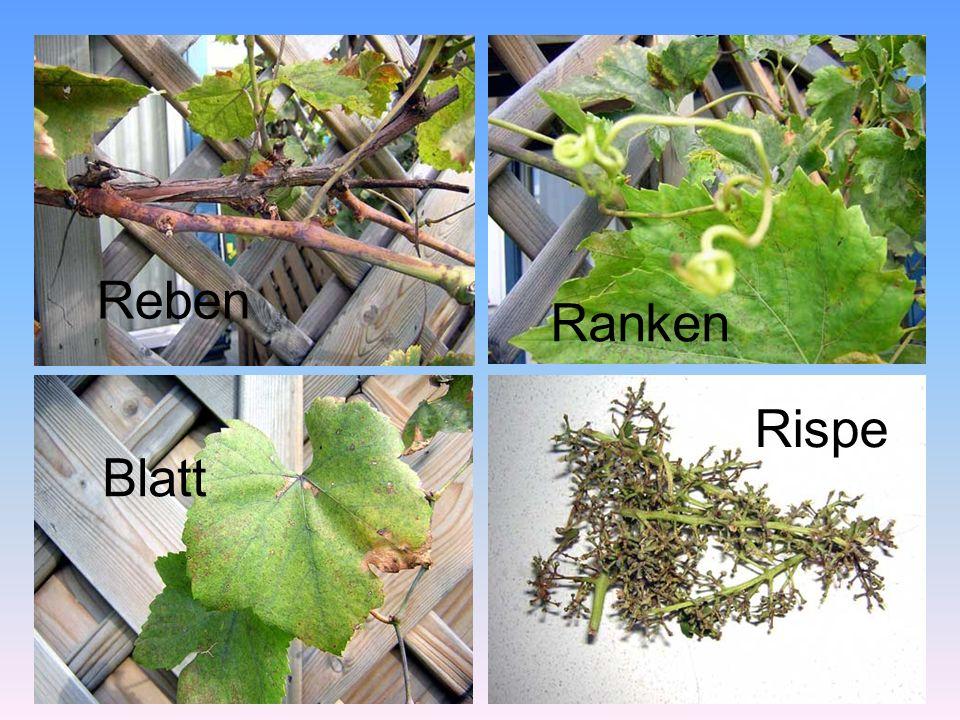 Vom Weinbau Bis vor 50 Jahren war es in Österreich üblich, Rebstöcke an Holzstangen anzubinden.
