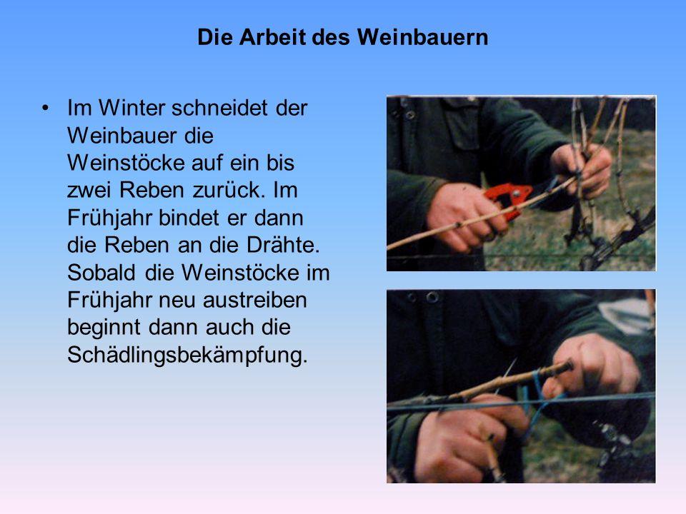 Die Arbeit des Weinbauern Schädlingsbekämpfung Pilzkrankheiten und Schädlinge, wie der Traubenwickler können einen Großteil der Traubenernte zerstören.