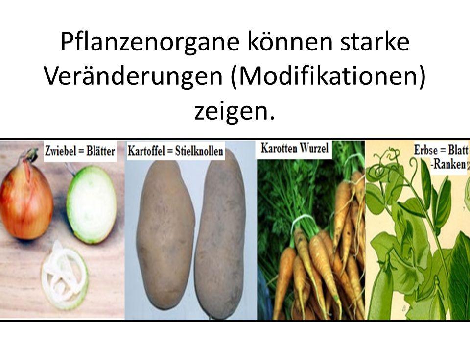 Pflanzenorgane können starke Veränderungen (Modifikationen) zeigen.
