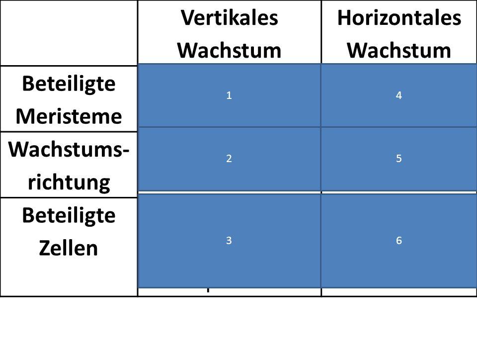 Vertikales Wachstum Horizontales Wachstum Beteiligte Meristeme apikales Meristem laterales Meristem Wachstums- richtung nach oben und unten in die Breite Beteiligte Zellen Wurzelspitzen und Spross- Spitzen Innerhalb der Leitbündel 1 2 3 4 5 6