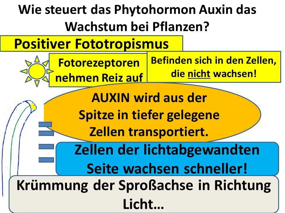 Wie steuert das Phytohormon Auxin das Wachstum bei Pflanzen.