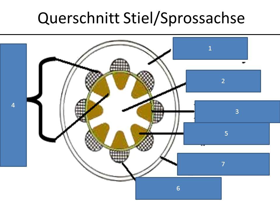 Querschnitt Stiel/Sprossachse 1 2 3 5 6 4 7